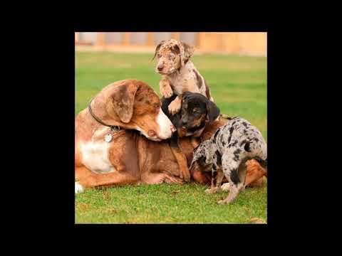 American Leopard Hound Dog breed