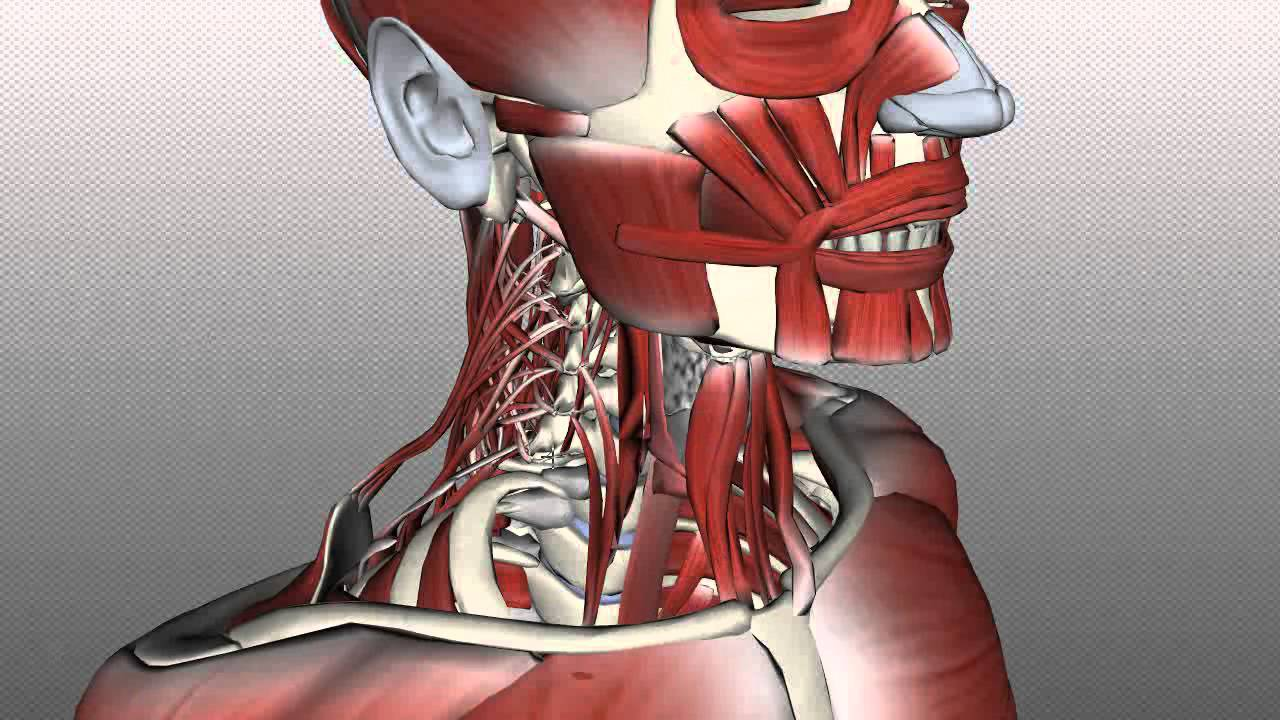 Neck Muscles Anatomy - Posterior Triangle, Prevertebral and Lateral ...