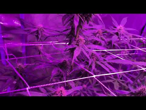 How To Make Auto Fem Seeds With Colodial Silver 4/2019