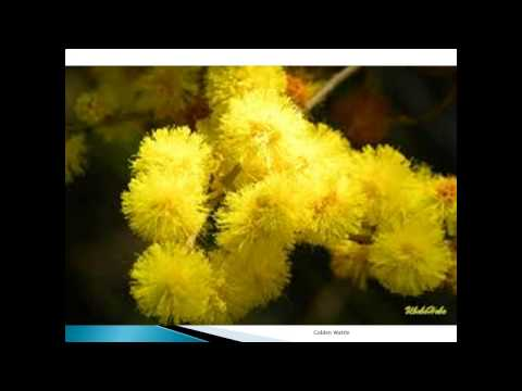 Golden Wattle - HerbiGuide