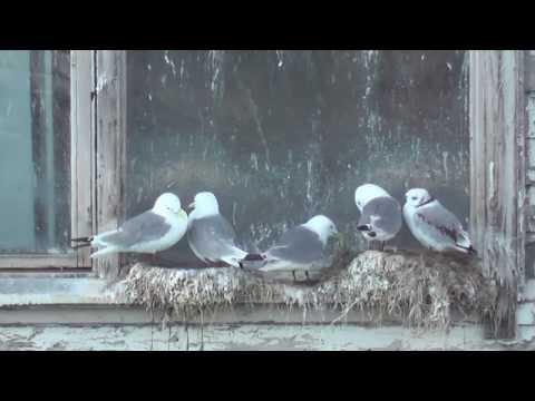 Vögel an der Küste zwischen Batsfjord , Tana & Berlevag