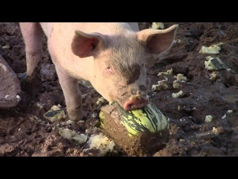 Everyone Loves Marrows! (Grow Your Own Animal Food - Number Two)