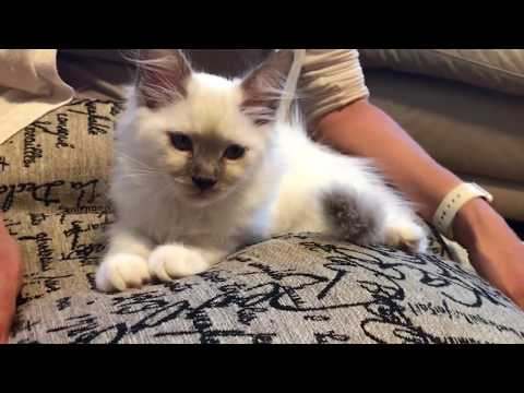 Ragdoll kitten - How to wash kitten's eyes - day 3 in our home - little journey with Snowflake