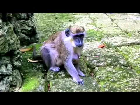 The Barbados Wildlife Reserve with The Bajan Tour Girl and Glory Tours