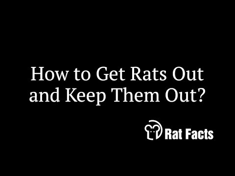 rat facts how to keep rats out of your home animals in the attic