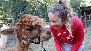 Alpaca Spit in the FACE!