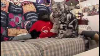 Американская короткошерстная кошка - Все О Породе