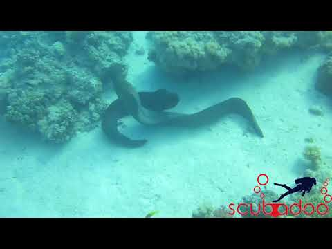 Giant Moray Eel Dating .hurghada .Red Sea