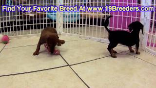 Miniature Dachshund, Puppies, For, Sale, In, Cincinnati, Ohio, Oh, Westerville, Huber Heights, Lima,