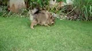 Mocha The Lovely Pomeranian