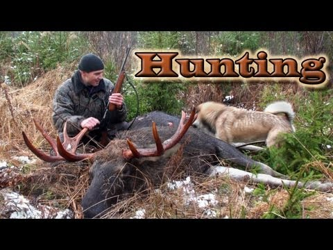 Охота на лося на солонцах / Сибирский охотник