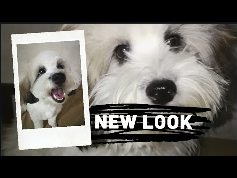 NEW LOOK | LHASA APSO