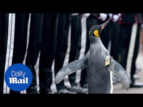 World's most decorated penguin is given a military promotion. - Daily Mail
