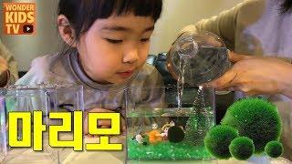 공이야? 돌맹이야?  요즘 핫한 수중식물 마리모 키우기 l 마리모 집만들기 l Marimo Moss Ball