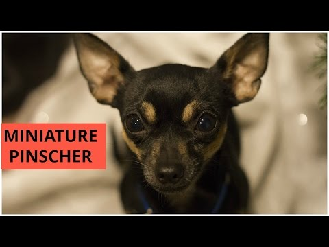 Miniature Pinscher - King of the Toys | Dogs Breed | Dogs Profile