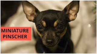 Miniature Pinscher Min Pin Dogs Pets Small Breed Toy Dogs Dog Show Palakkad