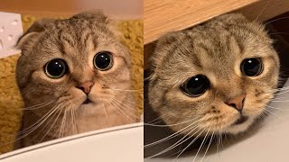 Cute Scottish Fold Cat Breed # 7