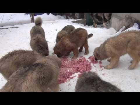 Puppies Caucasian Shepherd. For Sale!