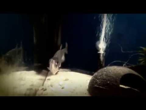 VAMPIRE  FISH PAYARA  Hydrolycus Scomberoides  Feding Time - RMFK