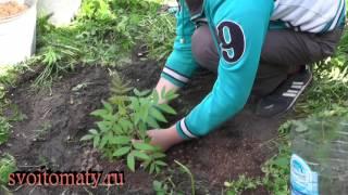 видео Рябинник рябинолистный