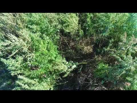 Поліція Луганщини: 190917_У Сватівському районі поліція виявила незаконний посів коноплі