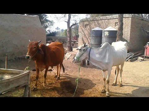 Pakistani Village Life | Lifestyle & Beautiful Scenes In Rural Punjab