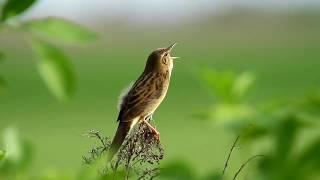Grasshopper Warbler - Burung atau Belalang ?