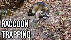 Trapping Raccoons with Dog proof Traps 2016