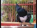 100 Ampuh Pikat Kacer Agar Rajin Narung Ngobra Ngeplay Kicau Pancingan Kacer Sitimewa Jernih(.mp3 .mp4) Mp3 - Mp4 Download