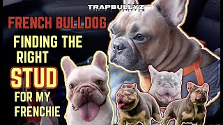 FRENCH BULLDOG | FINDING THE RIGHT STUD | VLOG 11