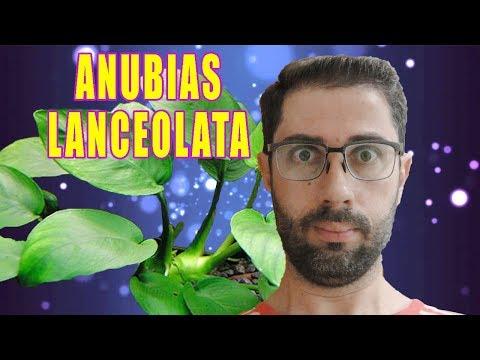Como cuidar da Anubias lanceolata em um aquário