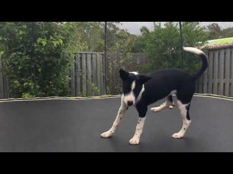Cute Dog Thinks He's A Kangaroo