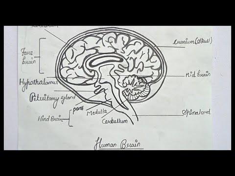 Вопрос: Как нарисовать мозг?