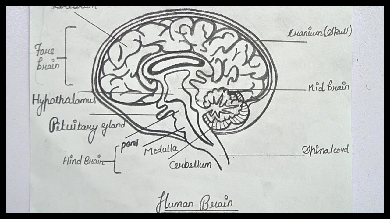 how to draw brain diagram step by step brain diagram and labeling pencil drawing [ 1280 x 720 Pixel ]
