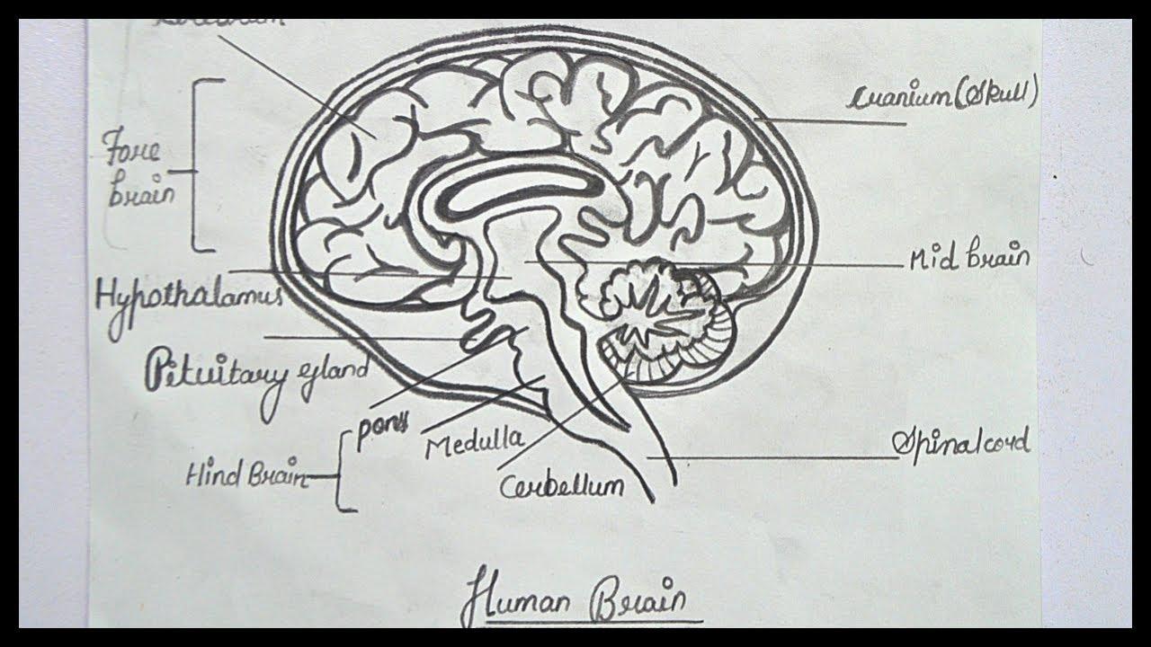 How To Draw Brain Diagram || Step By Step Brain Diagram ...