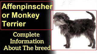 Affenpinscher or Monkey Terrier. Pros and Cons, Price, How to choose, Facts, Care, History