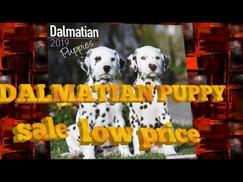 Dalmatian puppy sale //doggyz world