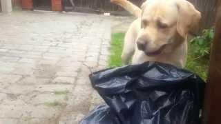 Yellow Labrador Retriever Gets Angry!