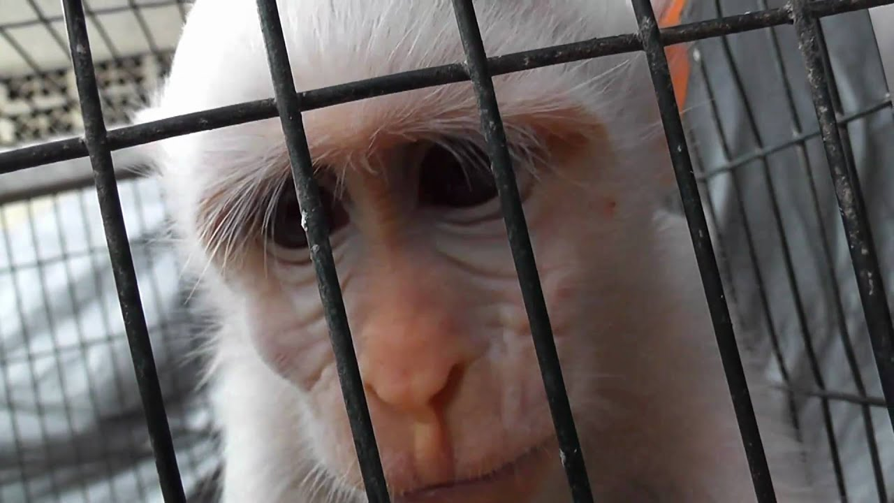 Sad Monkey Cage Reaches Out To Camera Pramuka Animal Market Indonesia  YouTube