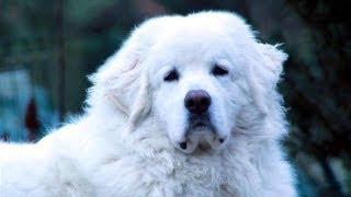 Tatra Shepherd Dog / Польская подгалянская овчарка / Горная овчарка татр / Татранская овчарка