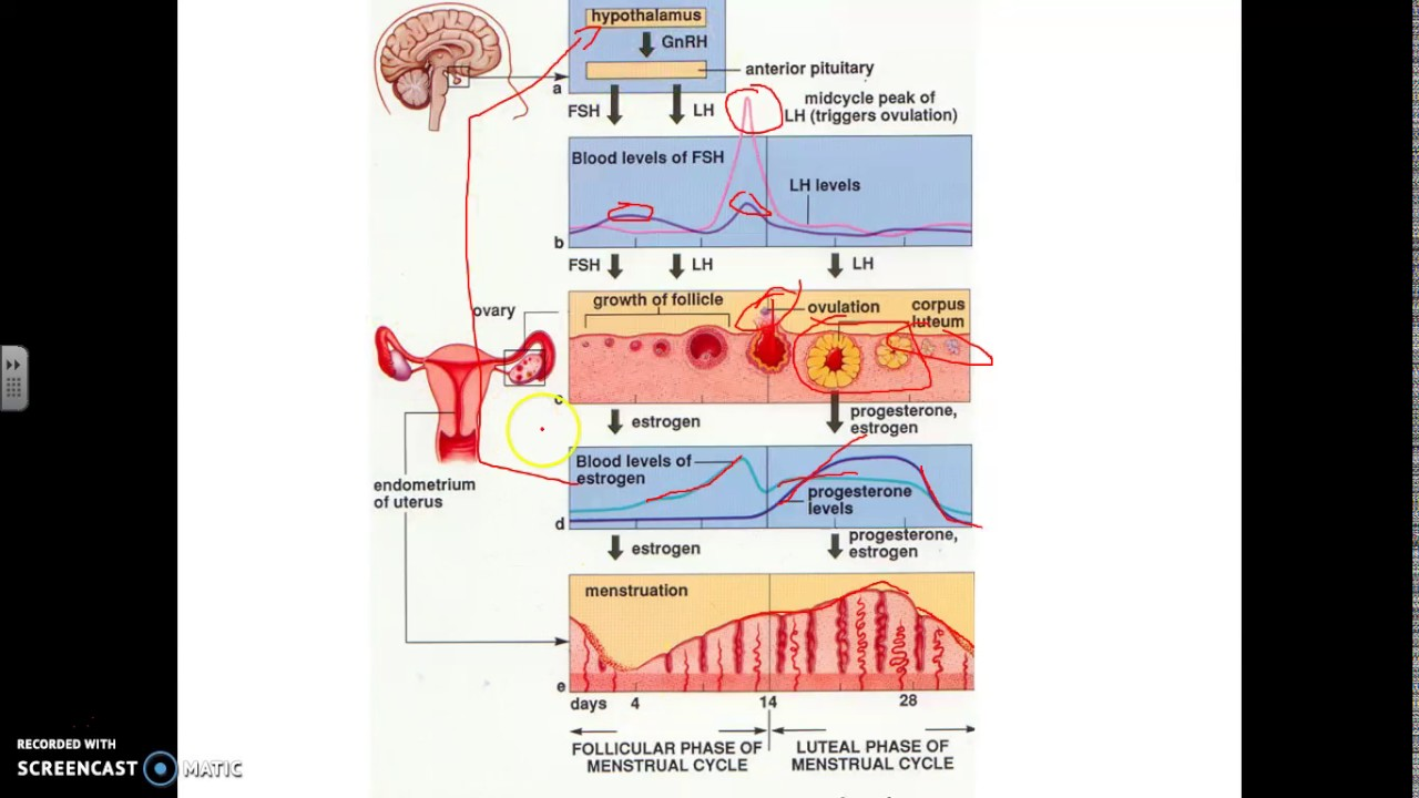 Can Ovulation And Menstruation Occur Simultaneously