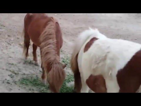 Horse Hyderabad, sindh