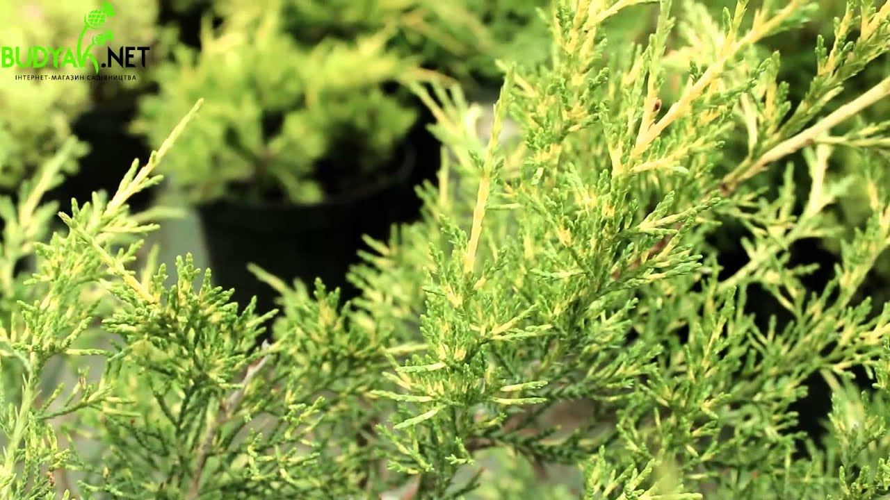 Можжевельник китайский стрикта (juniperus stricta). Саженцы (горшок 9см). 220 руб. Купить. Принимаем заказы. (период отгрузки 1: март-апрель 2018).
