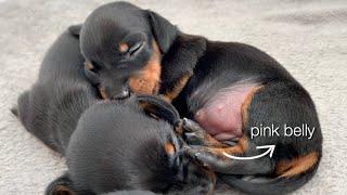 dachshund-puppy-belly