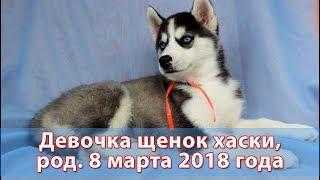 Предлагаем щенка хаски девочку, родилась 8 марта 2018 года