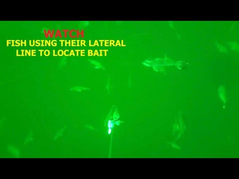 HOW FISH FEED WITH ONLY SOUND UNDERWATER FOOTAGE