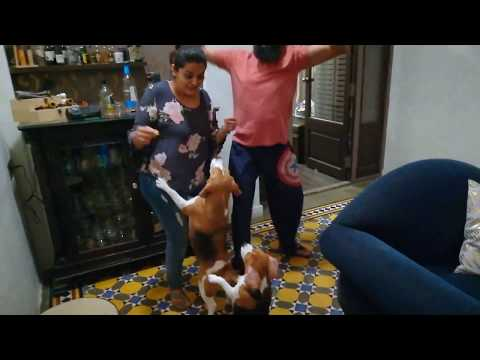 Dancing Beagles II Cutest Video Ever II Beagles Are Awesome II