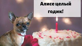 Алиса чихуахуа празднует день рождения! Говорящая собака блогер ест тортик! Алисе ровно год / Видео