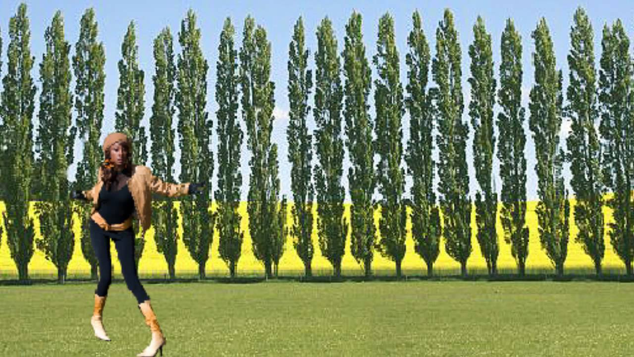 Plant Lombardy Poplar Trees Correctly Populus Fast