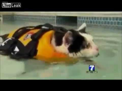 Newsreader Can't Stop Laughing A Fat Cat Swimming